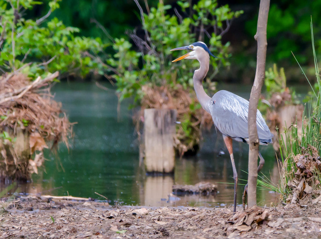 Durant Nature Park Great Blue Heron 4-29-17 (3)