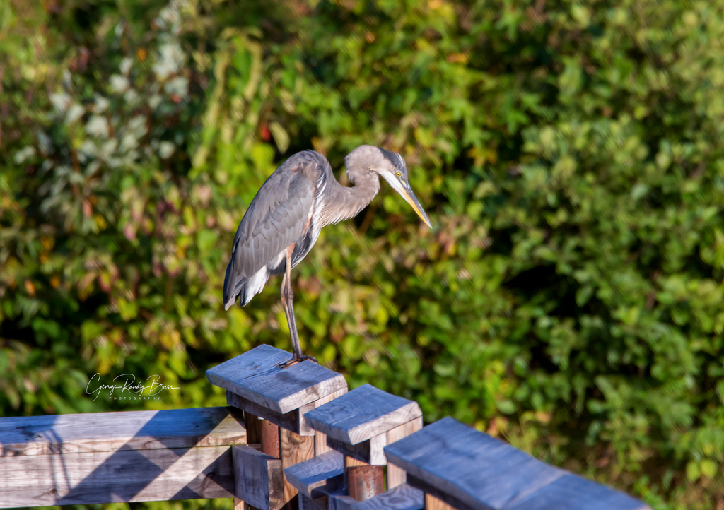Heron Near Sunset (2)