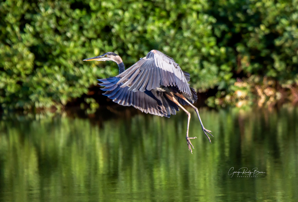 Heron Near Sunset (7)