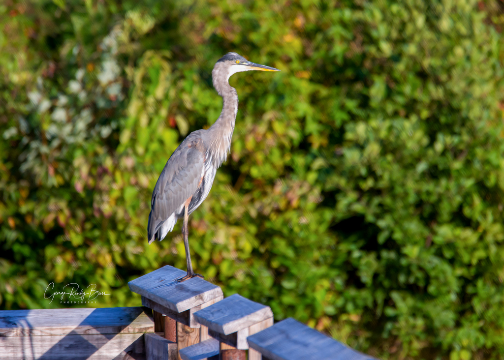Heron Near Sunset