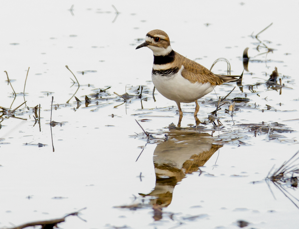 Killdeer (1)